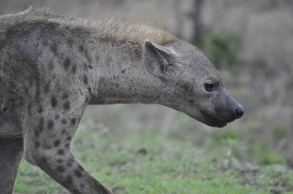 Up Close - Hyena