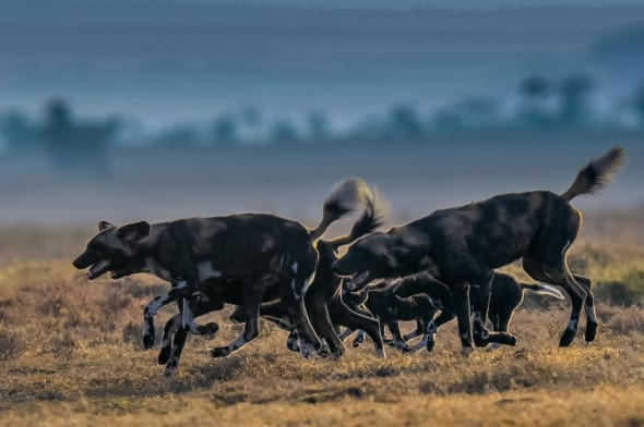 Wilddogs Returning from Hunt