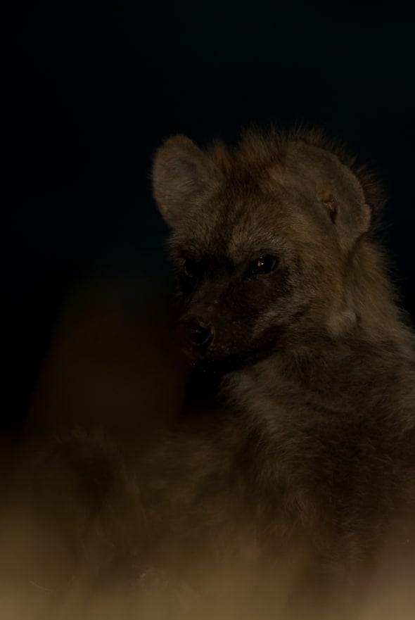Hyaena Cub at Night