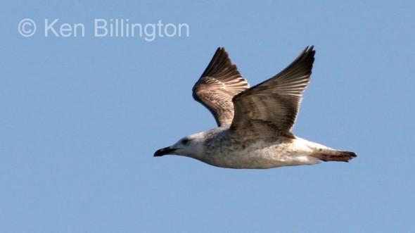 Glaucous Gull (Larus hyperboreus) (6)