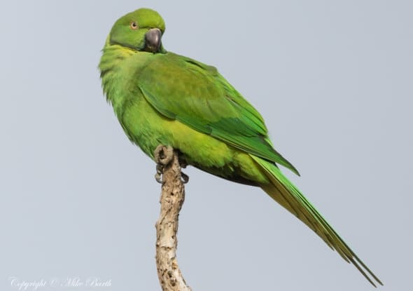 Echo Parakeet Psittacula Eques