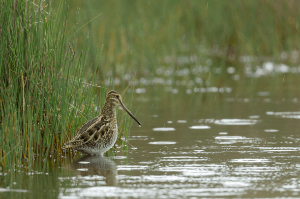 Snipe in the Rain