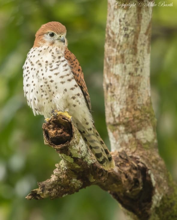 Mauritius Kestrel Falco Punctatus