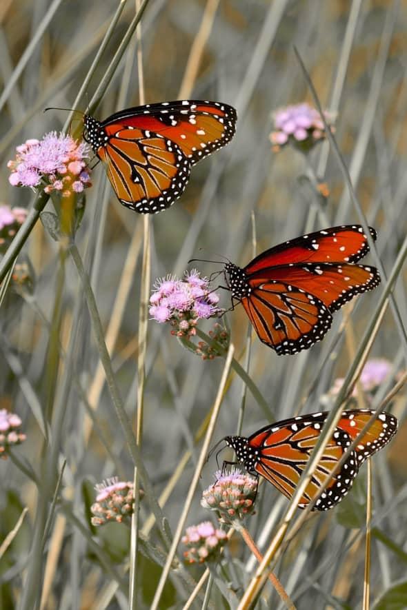 Queen Butterflies on Eupatorium