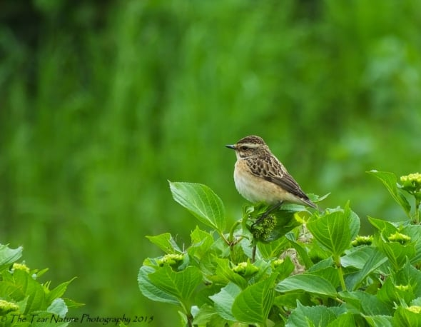 Whinchat Beauty