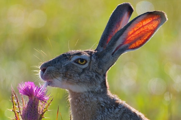 Black-tailed Jackrabbit and Thistle Flower