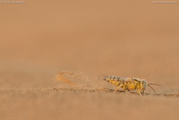 Sand Wasp | Steniolia Sp.