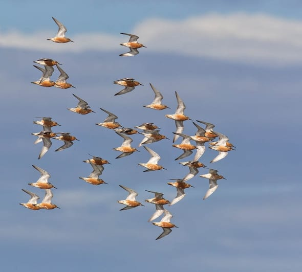 Red Knot Migrating