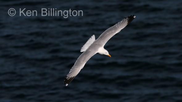 Herring Gull (Larus argentatus) (01)