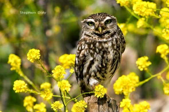 Little Owl on Mustard Flowers