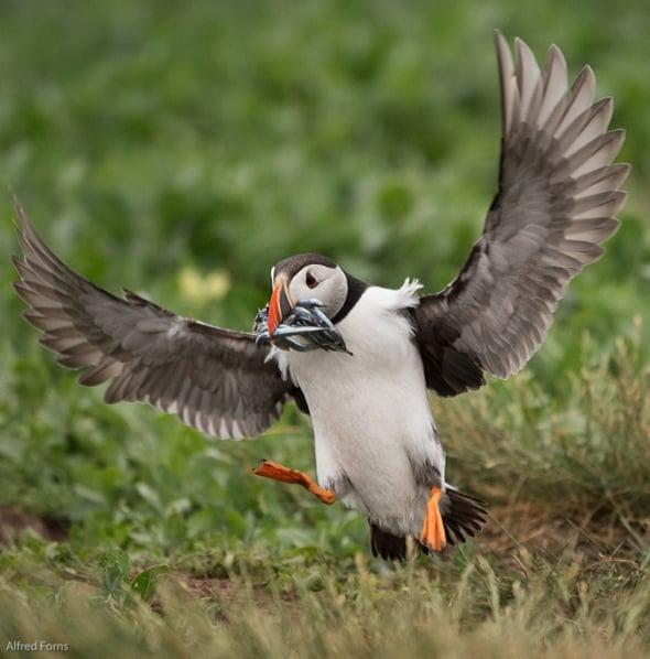 Puffin Landing on Staple Island
