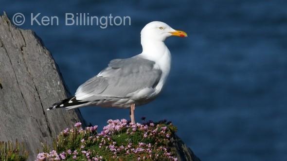 Herring Gull (Larus argentatus) (11)