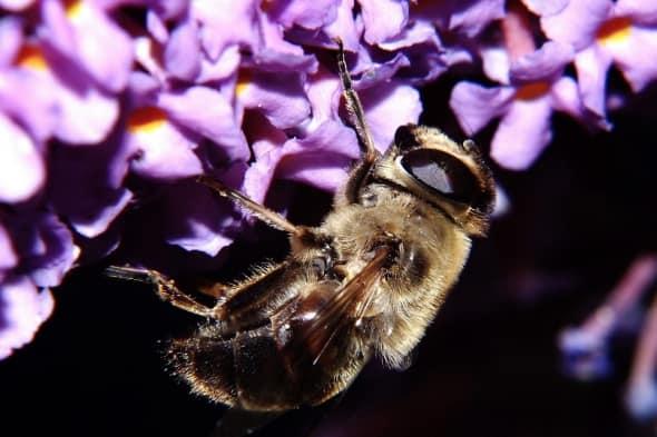 Bee Drunk on Pollen