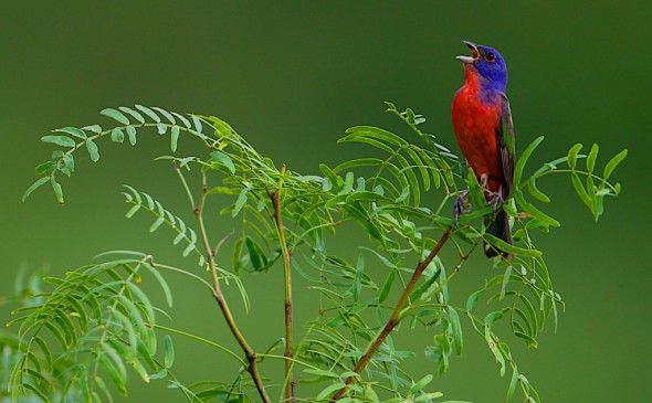 Last Song of Summer (Painted Bunting)