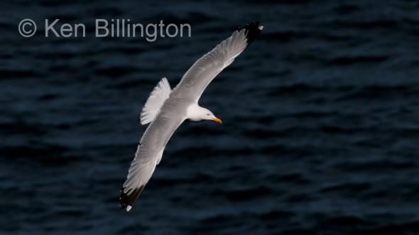 Herring Gull (Larus argentatus) (02)