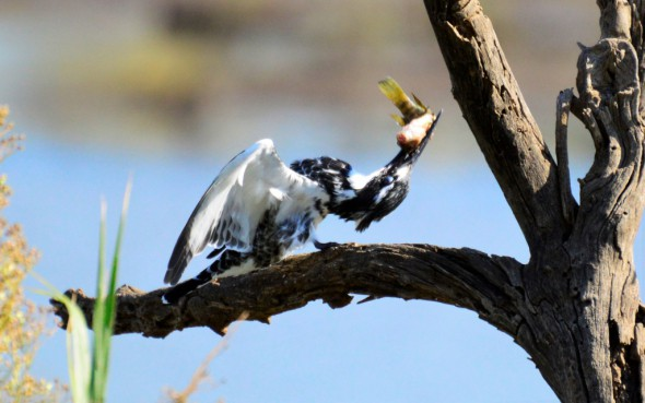 Pied Kingfisher with a Twist