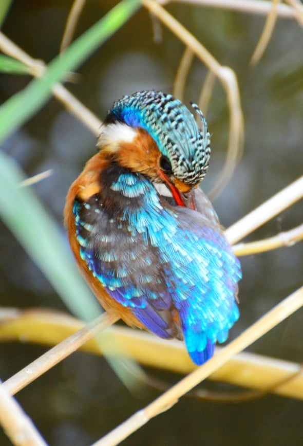 Malachite Kingfisher: Grooming is Important