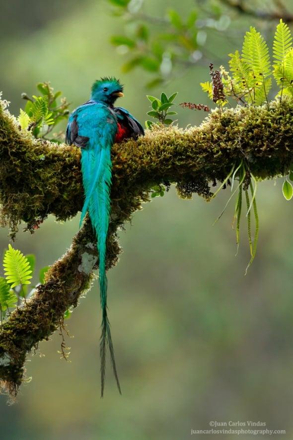 Resplendent Quetzal and Ferns by Juan Carlos Vindas