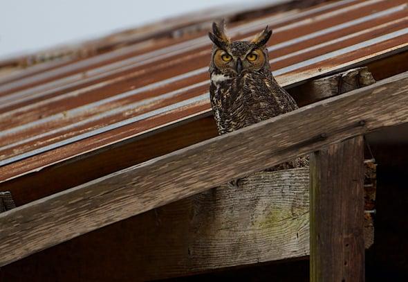 I Am not a Barn Owl