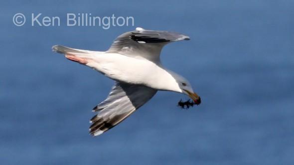 Herring Gull (Larus argentatus) (05)