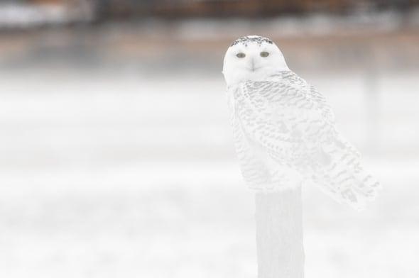 Snowy Owl in Heavy Ground Fog