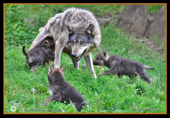 Wolf Intimacy