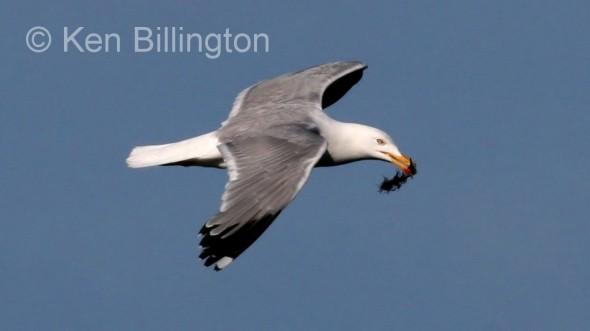 Herring Gull (Larus argentatus) (06)