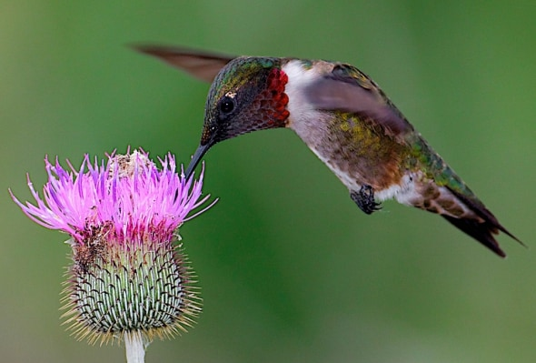 Ruby-throated Hummingbird and Texas Thistle
