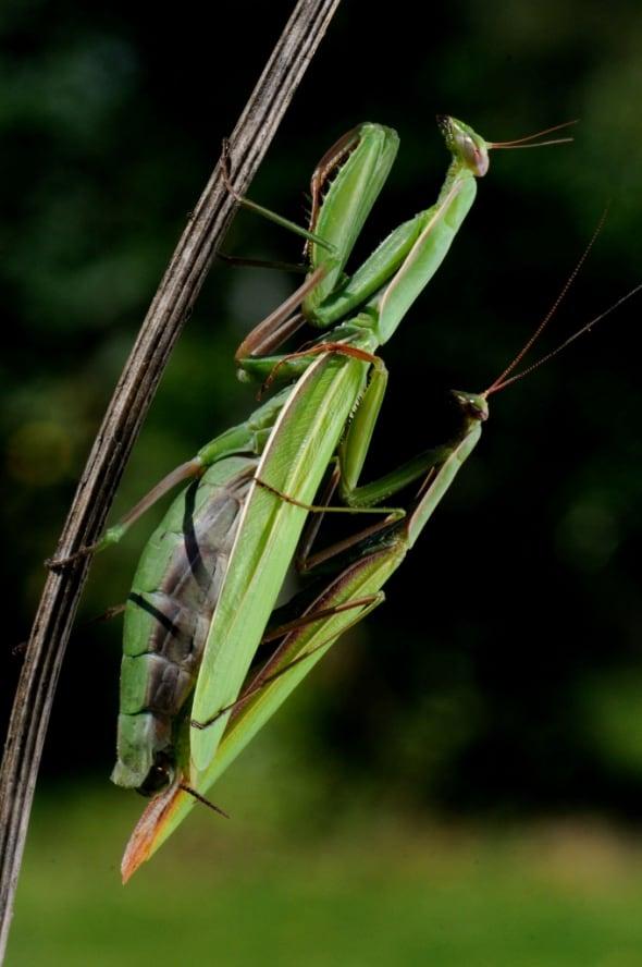Mantis Accouplement