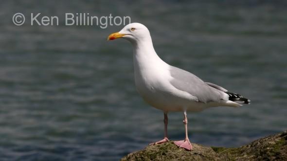 Herring Gull (Larus argentatus) (08)