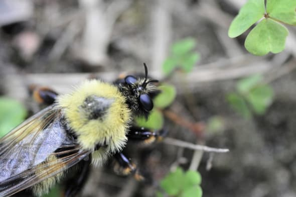 Bee Staggers & Cannot Fly ... Neonictinoids