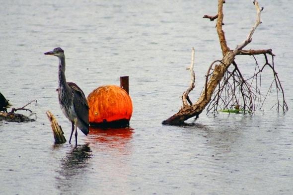 Orange and a Grey Heron