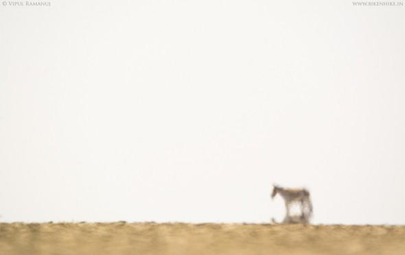 Asiatic Wild Ass | Little Rann of Kutch