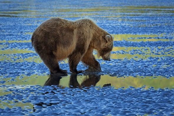 Coastal Brown Bear Clamming