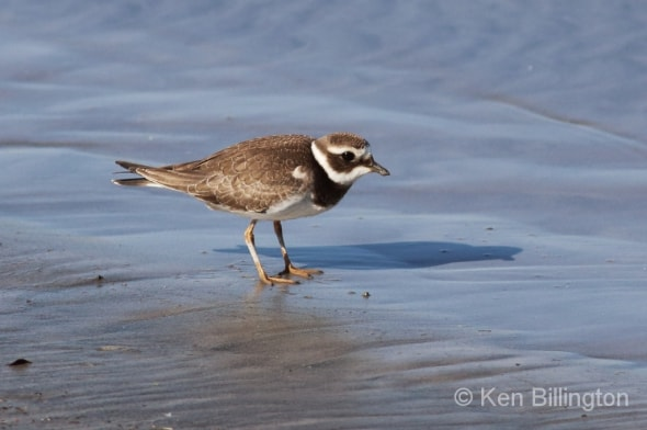 Common Ringed Plover Juvenile Foraging