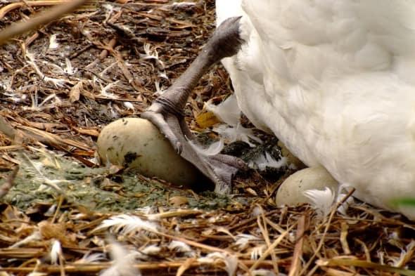 Endangered Egg