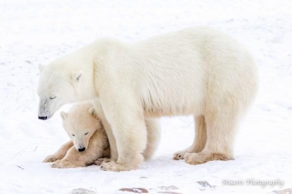 Polar Bear and Ciub