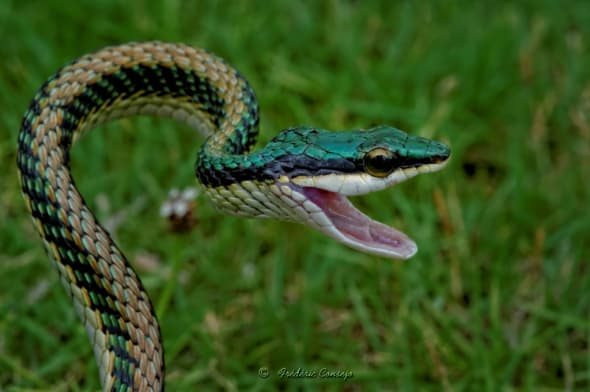 Green-headed Tree Snake
