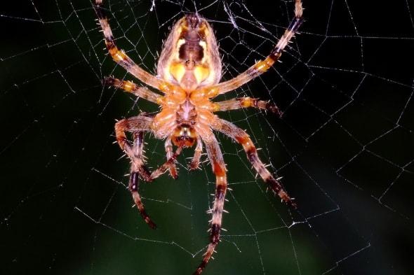 Orb Spider on Web