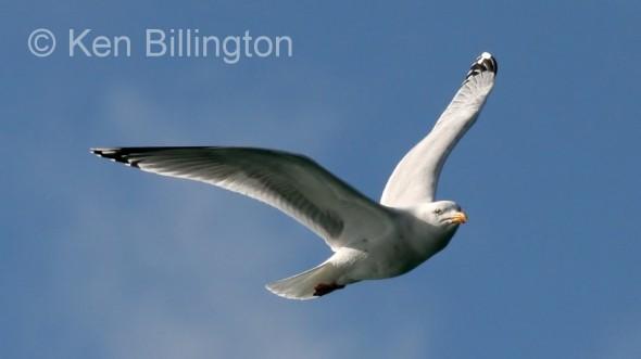 Lesser Black_backed Gull (Larus fuscus) (4)