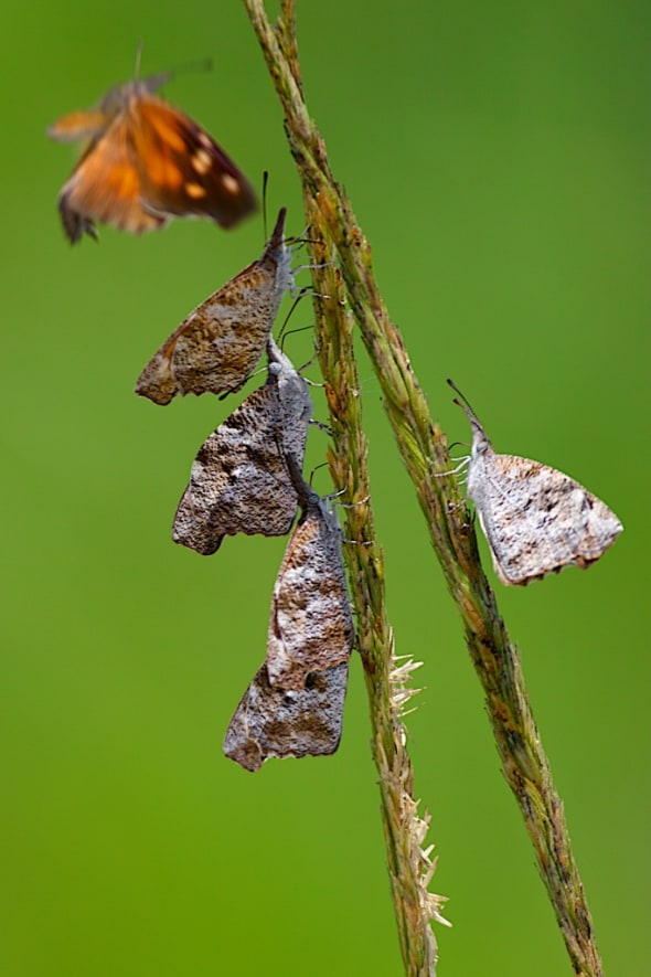 A Gathering of American Snout Butterflies