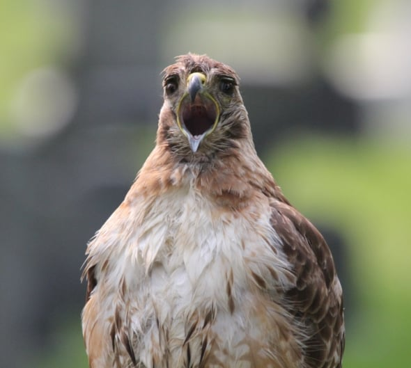 Yawning Red Tail Hawk