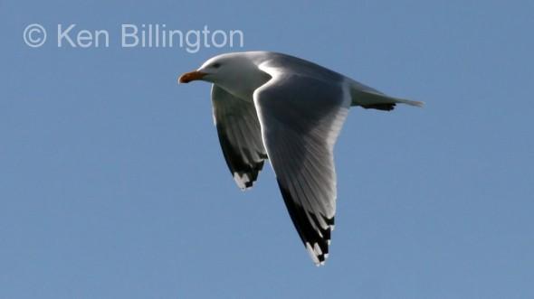 Lesser Black_backed Gull (Larus fuscus) (6)