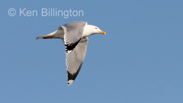 Lesser Black_backed Gull (Larus fuscus) (7)