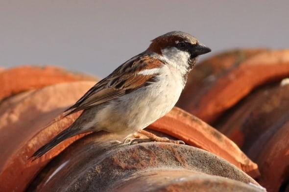 House Sparrow (Passer domesticus) (17)