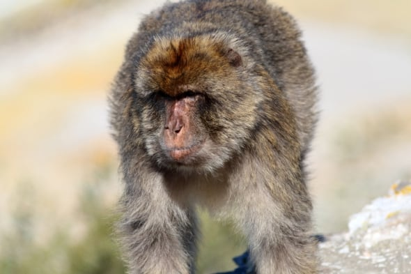 Barbary Macaque Macaca sylvanus (2)