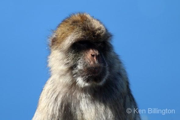 Barbary Macaque Macaca sylvanus (4)