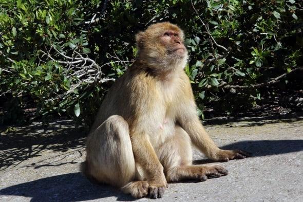 Barbary Macaque Macaca sylvanus (6)