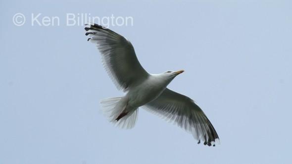 Lesser Black_backed Gull (Larus fuscus) (9)