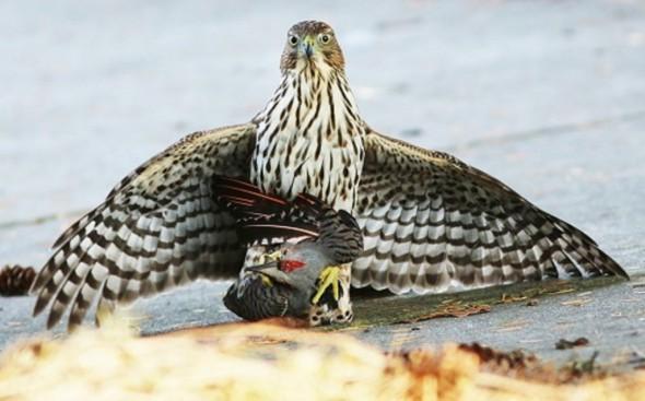 Cooper's Hawk with Northern Flicker